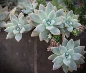 succulent-1smug