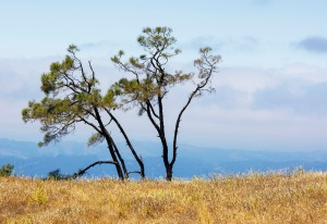 Mt. Diablo Tree