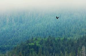 eagle over trees