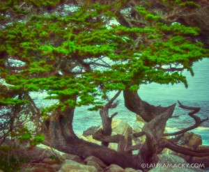 Pacific Cypress