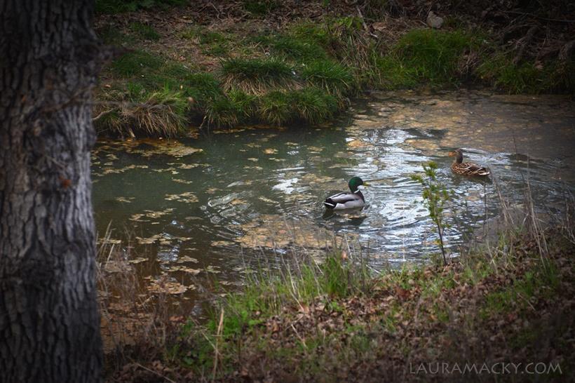 ducks-web