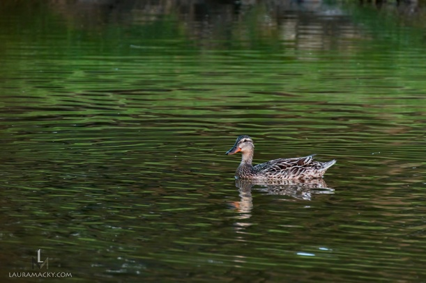 duckonwater-web