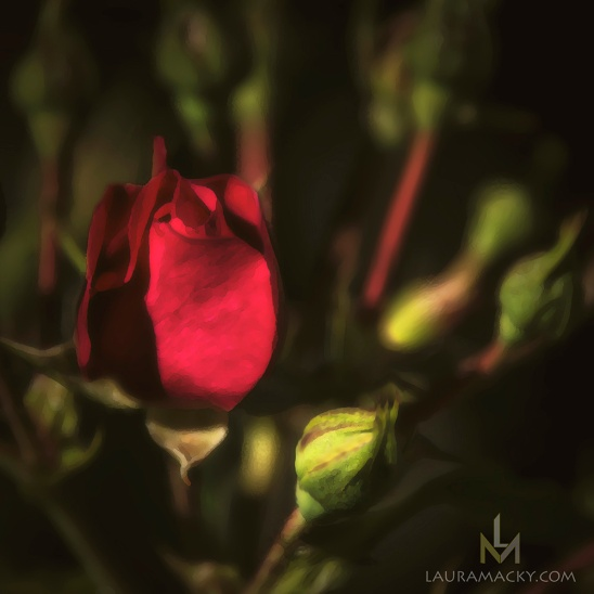 Rosebud in Solitude