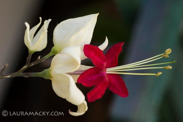 Macro of Tiny Fuschia Flower