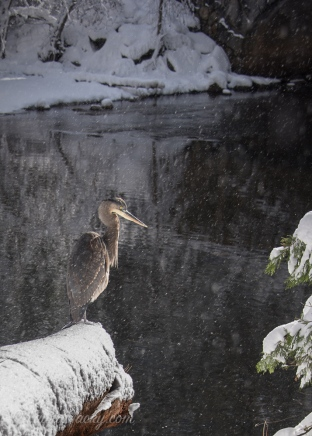 Great Blue Heron - Yosemite