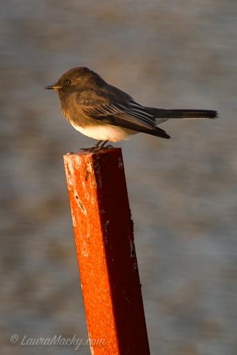 Black Phoebe - Bird Photography
